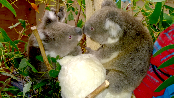 Two of 16 orphaned  joeys currently in care at Mosswood Wildlife Rescue and Rehabilitation Shelter SW PHOTO: © Tracey Wilson