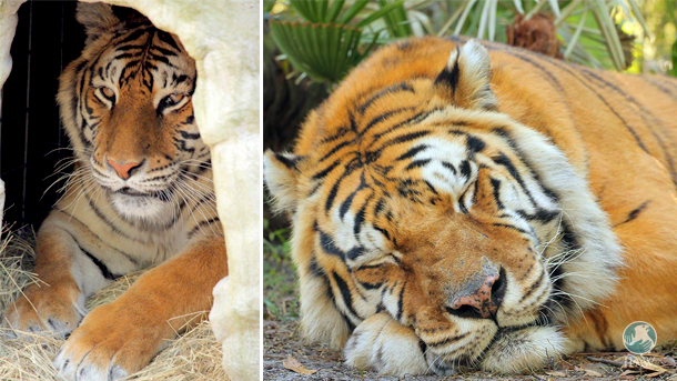 Priya (left) and Charaka (right), two tigers rescued from a speed breeding and cub petting operation, relax in their new, spacious homes.