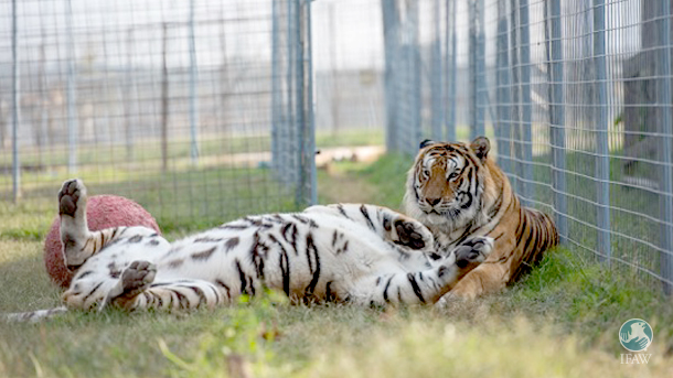 Montana and Poncho enjoy playtime at Turpentine Creek Wildlife Refuge