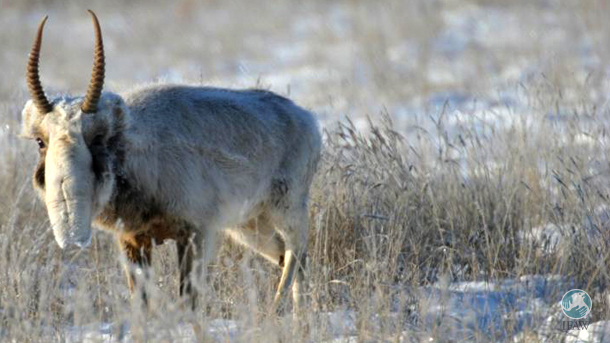 Stepnoy Sanctuary staff observe saiga antelopes in rutting season.