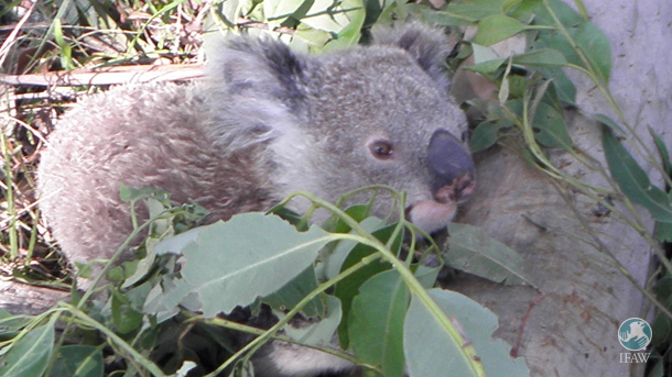 Harry the koala, a Ballina koala whom we've known of for almost a year, most likely fell with the tree in a recent storm.
