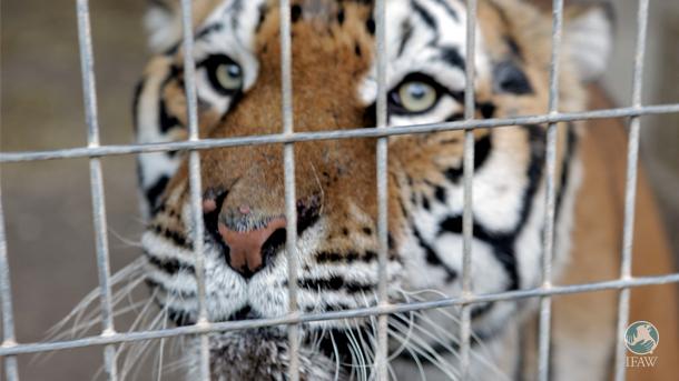 IFAW et ses sympathisants américains utilisent la base de données de l'APHIS pour s'informer sur les refuges animaliers de confiance et autres organismes hébergeant des espèces sauvages en captivité, telles que ce tigre.