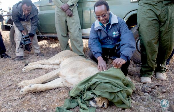 De auteur met Nyala, de leeuwin die een halsbandzender kreeg.
