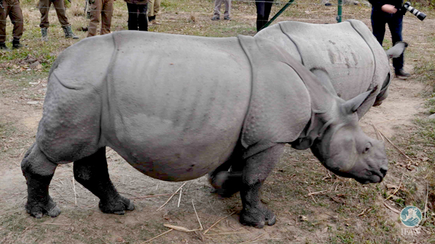 The release of Purabi and Dwimalu brings the total count of rhinos released by IFAW-WTI and Assam Forest Department to 10.
