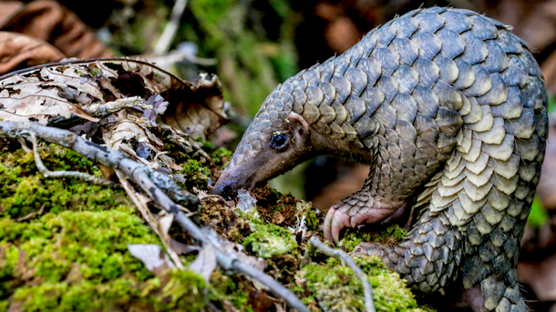Pangolins are poached for their meat and their scales. Demand for pangolin products has pushed the pangolin to be listed as critically endangered. PHOTO © M. Shavez/1StopBrunei Wildlife