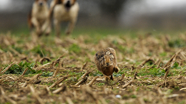 Hare being pursued by hounds in a 2016 hare hunting event in England. Image courtesy of the Hare Preservation Trust.