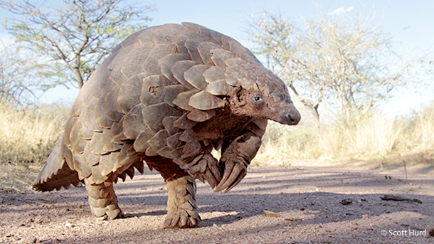 Pangolins are prized for their meat and scales. Just one small animal can cost thousands of dollars.