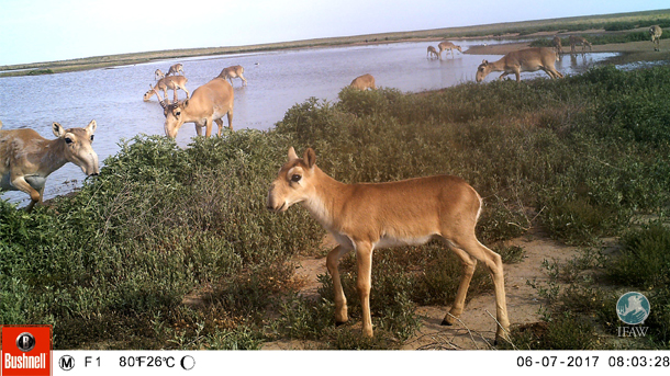 Camera traps captured the newborn saiga calves on the steppe.