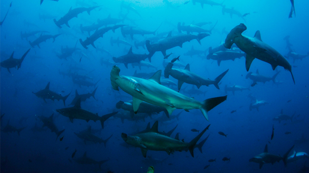 While sharks and rays were given better protections at CITES last fall, advocates are still seeking. PHOTO © Avi Klapfer