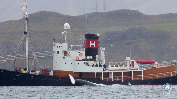 Kristjan Loftsson, magnat de l'industrie de la pêche en Islande, massacre des rorquals communs dans le cadre de la chasse commerciale depuis une dizaine d'années.