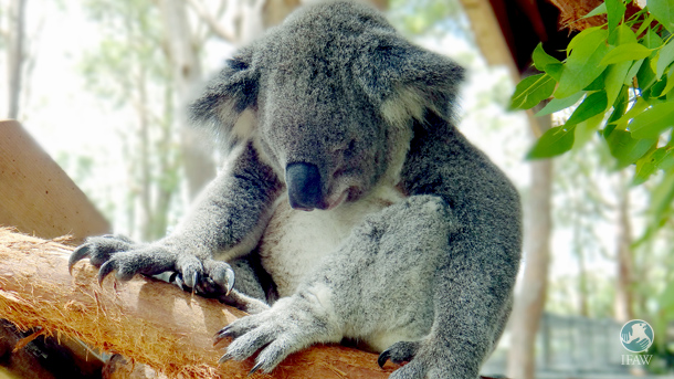 The key to the koala's survival is the protection of its habitat, but new legislation in NSW will unleash a wave of tree-clearing across the state.