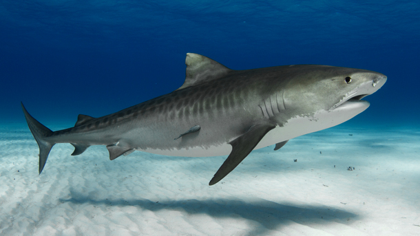 Endangered tiger sharks have attacked people in Indian Ocean waters in the past, but a cull is not a solution to such tragedies. PHOTO © Tom Burns