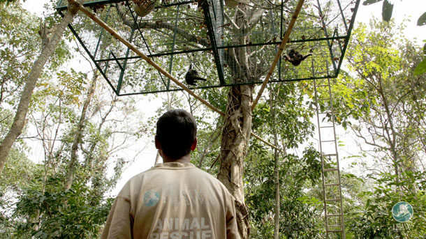 The gibbons will be kept in adjoining compartments of a cage up in the forest canopy and monitored by a biologist over the next month. SubhamoyBhattacharjee/IFAW-WTI