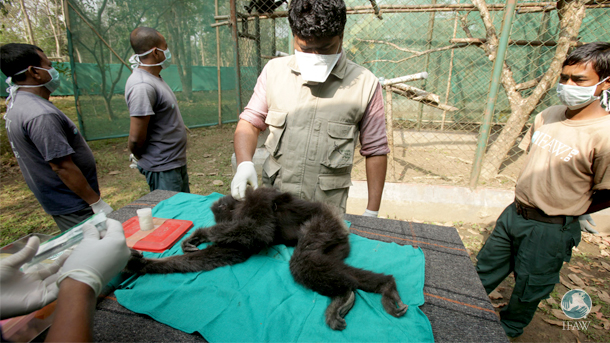 Veterinarian Dr Samshul Ali gives the female hoolock gibbon a check-up prior to her transfer to the acclimatisation site. Photo: Subhamoy Bhattacharjee/IFAW-WTI
