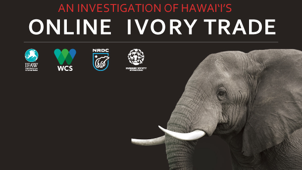 "IFAW and partners conducted a ""snap-shot"" investigation in Hawaii of an under-studied—and increasingly prevalent—section of the market: online commerce."
