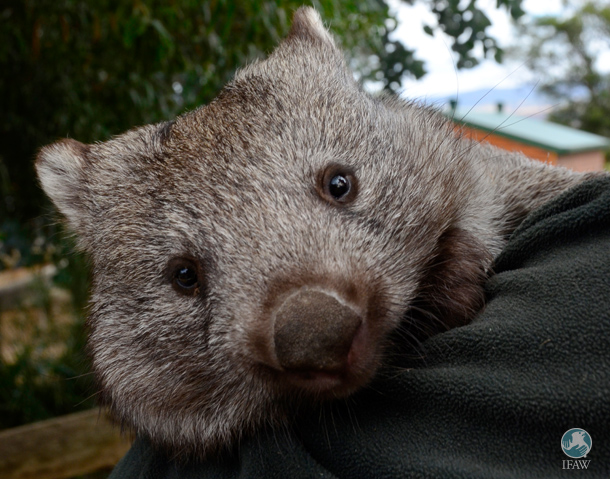 "Wombats are among the native wildlife species Australians sometimes choose to keep as pets and recently, Australian threatened species commissioner Gregory Andrews praised Australians doing so as ""patriotic."""