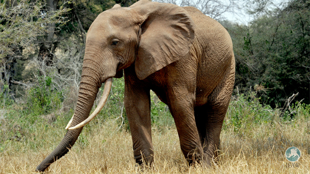 Satao 2 was a tusker with extremely long tusks like this elephant in Tsavo National Park.