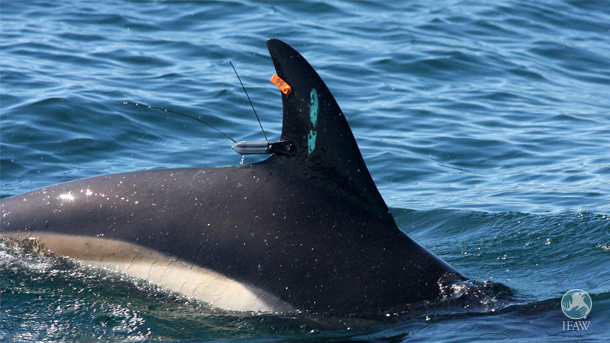 Satellite tags enable scientists to track dolphins following release.