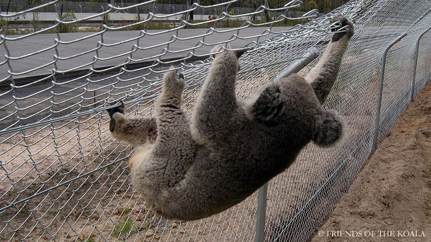 A koala climbing a fence designed to protect it from the road.