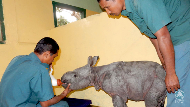 The new rhino calf was examined and has been kept under observation in the large animal nursery at the wildlife rescue center.