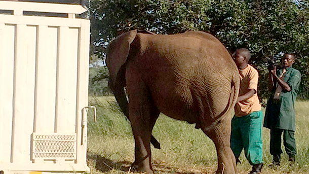 Zambezi refuses to enter the transport truck, even with the encouragement of his beloved milk.