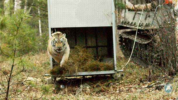 Since 2015, IFAW has assisted in the release of six tigers back into the wild in a part of Russia that hasn't seen tigers for more than 40 years.