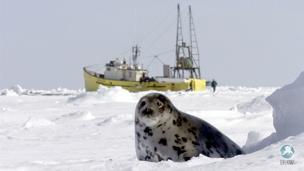 IFAW always focused on the commercial hunting of harp, hooded, and grey seals that takes place off of Canada's east coast; it has never campaigned against the Inuit seal hunt.