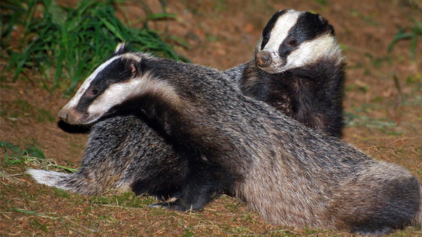 Culling badgers does not and will not work in tackling the issue of bTB. PHOTO: © Libby Owen