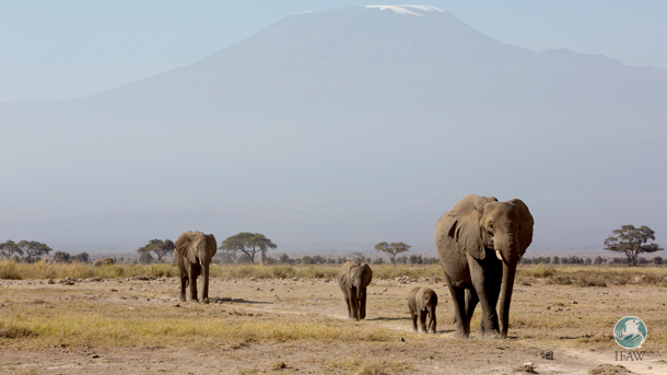 The establishment of the Kitenden Conservancy Trust will ensure that Amboseli elephants can continue using 16,000 acres to graze and transit between Amboseli National Park and West Kilimanjaro Conservation areas for posterity.