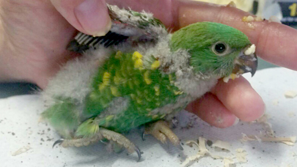 Fauna Rescue Whitsunday's first patient – Debbie, a scaly-breasted lorikeet. PHOTO: © Fauna Rescue Whitsundays