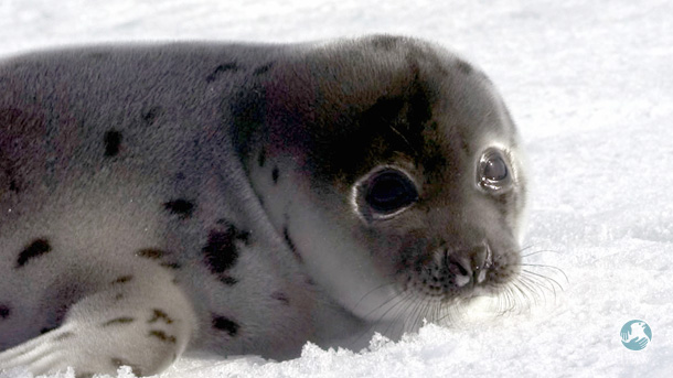 As a public policy, the seal hunt has been a failure.