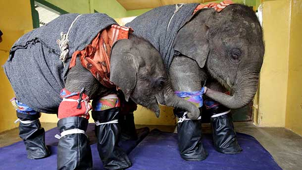 Dr Basumatary, a vet at the IFAW-WTI rescue centere, dressed two young elephants in pyjamas and night socks to get them to go to sleep. PHOTO: © Roger Allen.