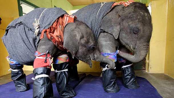 Dr. Basumatary, dierenarts in het opvangcentrum voor wilde dieren van IFAW-WTI, heeft twee jonge olifanten een pyjama en slaapsokken aangetrokken voor het slapen gaan. FOTO: © Roger Allen.