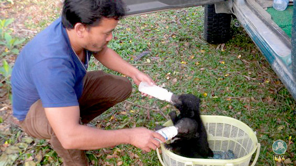 IFAW-WTI keeper feeds one of the rescued bears.
