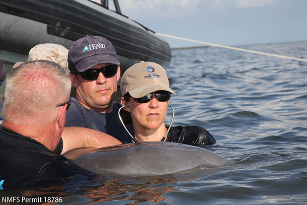 The author assists Dr. Cynthia Smith, principal investigator for the Deepwater Horizon marine mammal impact project and lead veterinarian/executive director for the National Marine Mammal Foundation, on a dolphin health assessment in Barataria Bay, Louisiana. PHOTO: © NOAA National Marine Fisheries Service