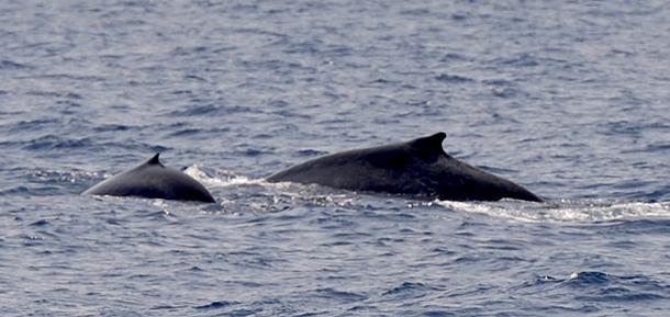 Un baleineau fait surface en compagnie de sa mère. Les jeunes cétacés sont particulièrement vulnérables aux collisions avec les navires. Crédit photo : Tim Lewis