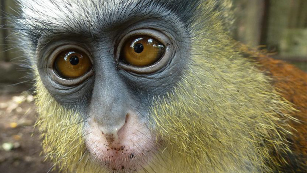 Robotta and more than 300 other monkeys have been saved and nurtured by CERCOPAN.