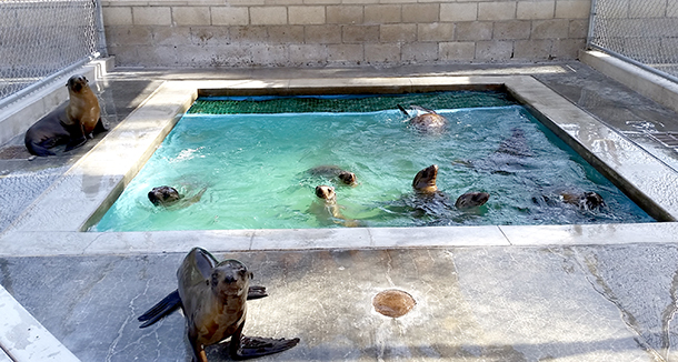Sea lions play in a holding tank at Pacific Marine Mammal Center (PMMC) in Orange County, California.