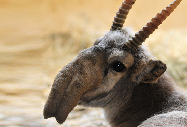 Saiga Antelopes in Russia may become extinct due to poaching.