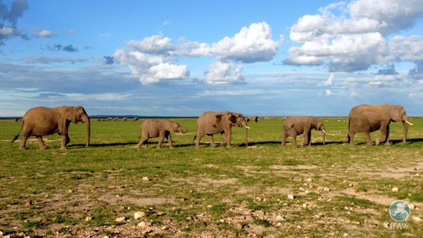 Grâce au matériel radio fourni par IFAW aux Maasaïs, les éléphants d'Amboseli vont être mieux protégés.