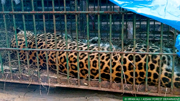 After being tranquilised, the leopard was safely transported from human habitation to the Joypur Reserve Forest.