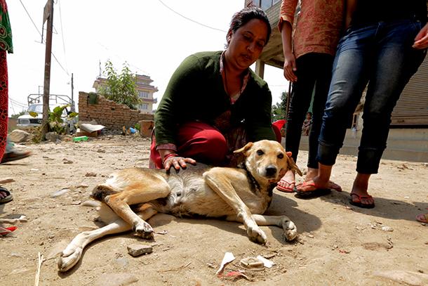 12 jours après la survenue du tremblement de terre qui a dévasté le Népal, l'équipe de sauvetage d'IFAW continue de retrouver des animaux blessés, comme Kali, en proie à une grande détresse.