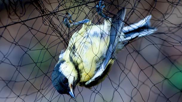 Hunters use nets among other inhumane methods of capture.