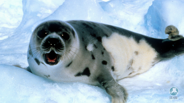 "Canadian politicians have inexplicably chosen to focus on seal ""products"" rather than the people, culture, and traditions that have been historically involved in seal hunting."