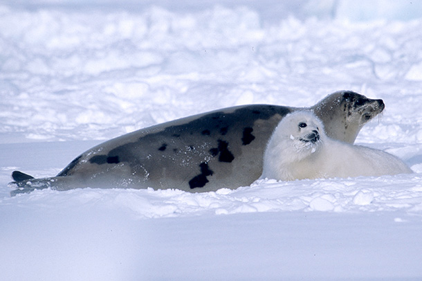 Twenty years on, the seal hunt's dependence on government support continues.