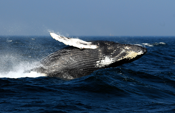 New speed restrictions in and out of San Francisco Bay will reduce the risk of ship strikes to large whales.