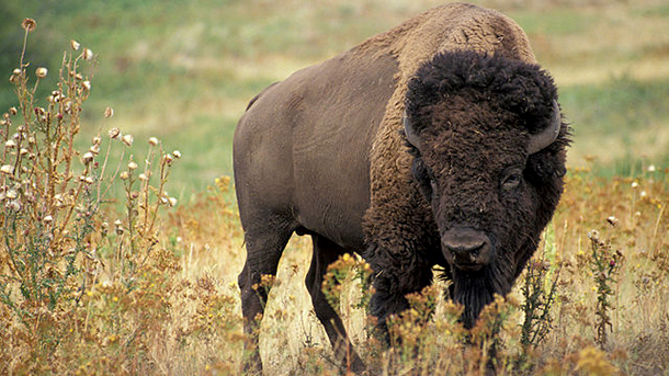 The American bison is a genuine symbol of the United States.