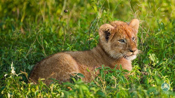 Much progress has been made in the last year to protect the endangered African Lion. PHOTO: © IFAW/B. Hollweg