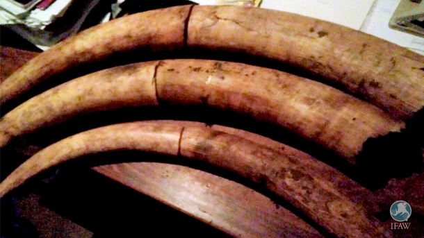 Ivory, from no less than five elephants, was unsuccessfully smuggled across the Zambia Malawi border and picked up by IFAW's Wildlife Crimes Investigations Unit – thanks to their undercover informant network.