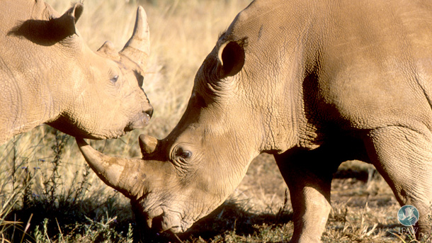 The ruling against the rhino horn ban seems counter-intuitive when one considers that the South African Government decided not to submit a proposal to trade in horn at this year's CITES conference.